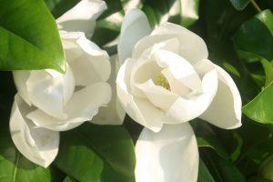 Menil Magnolias