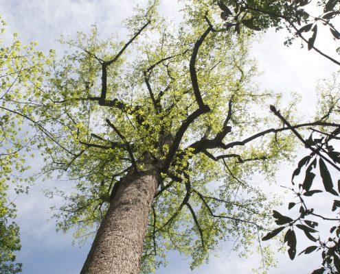 Yellow poplar—change happens.