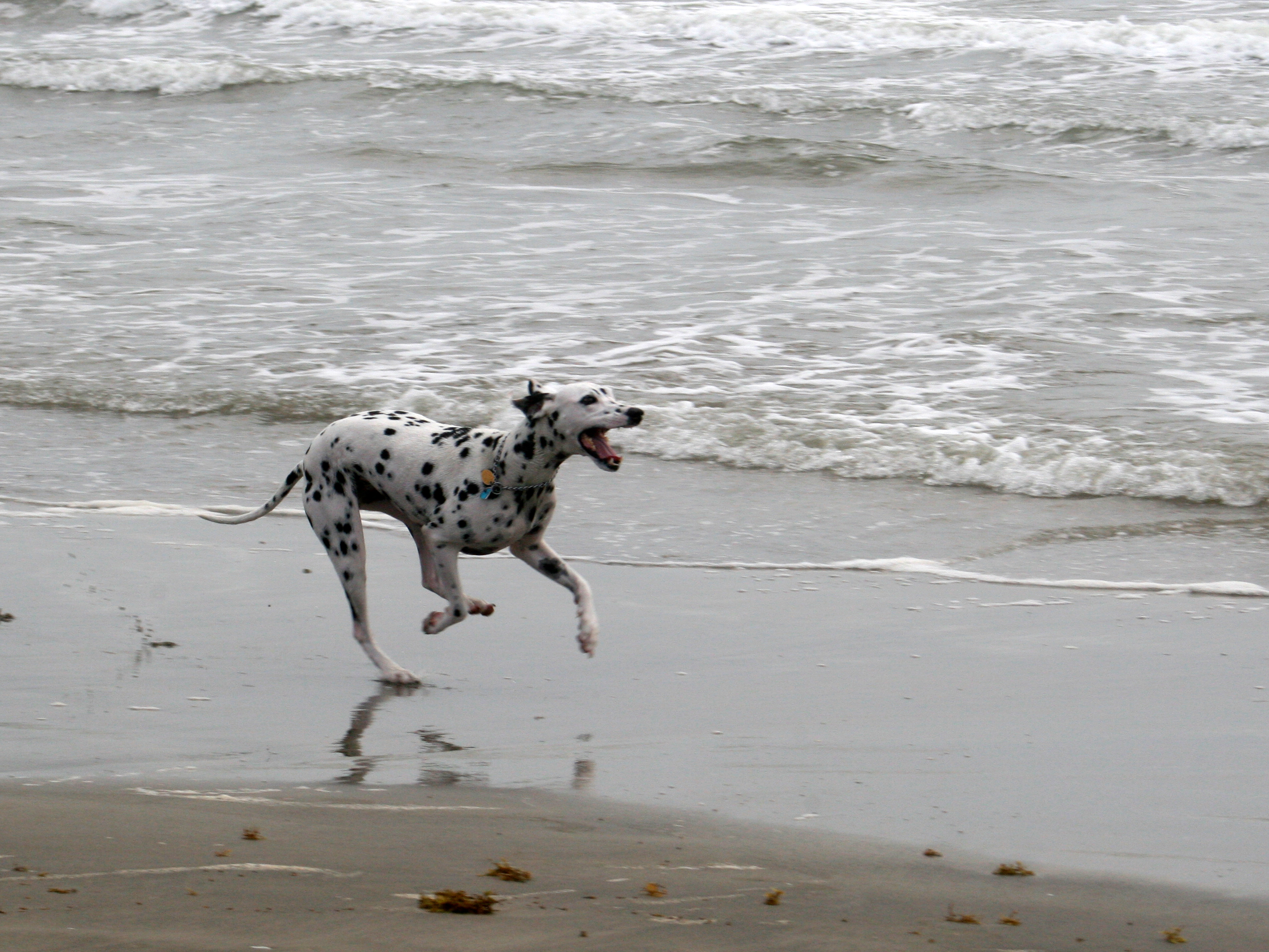 Dalmatian running on beach