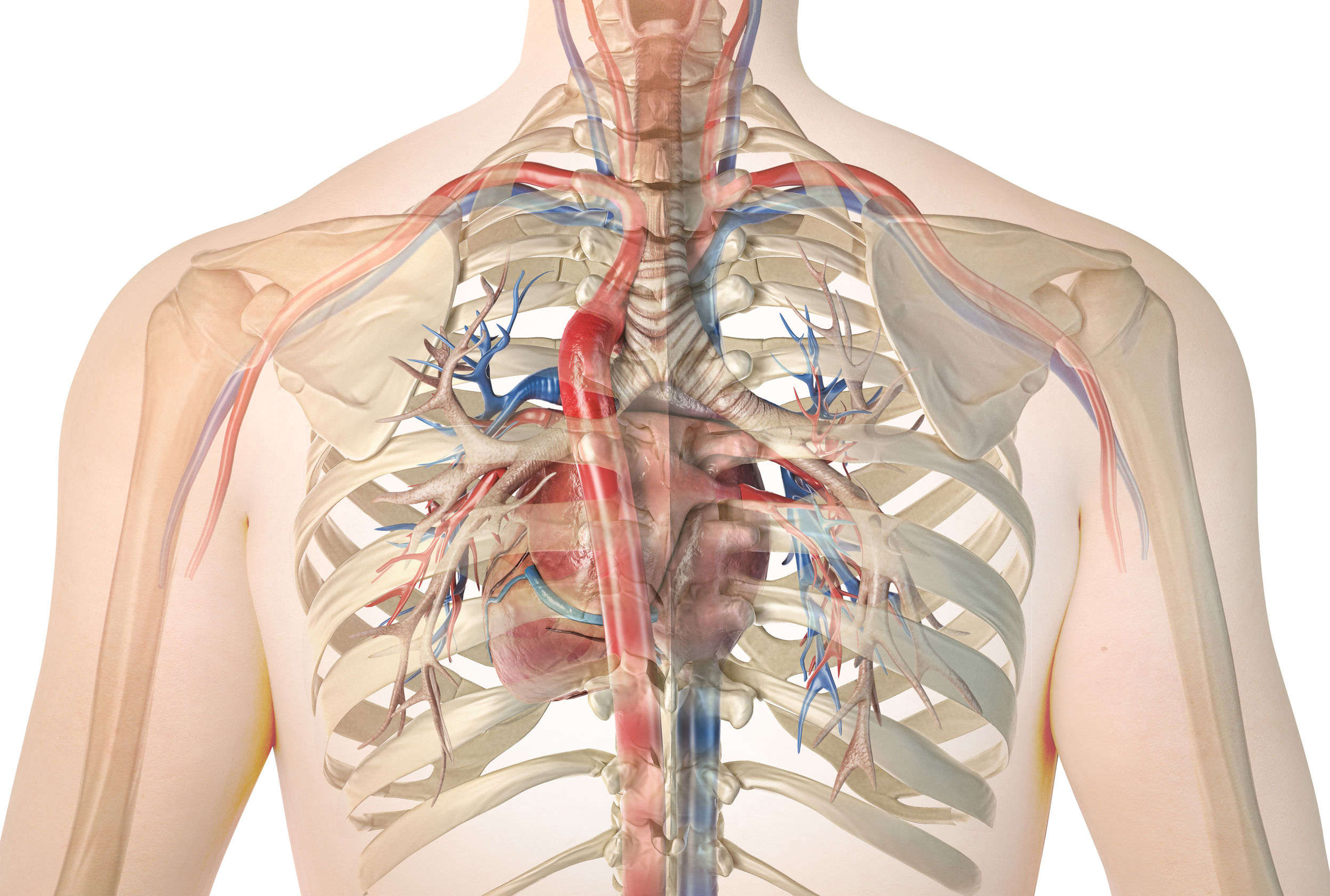 Human heart with vessels and bronchial tree, back view