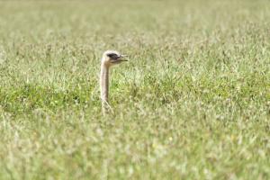 Ostrich peeking through grass